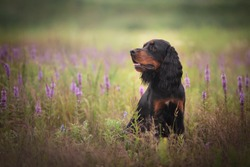 Profile portrait of gorgeous Black and tan setter gordon dog sitting in the violet flowers field in summer