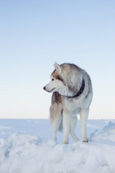 Profile Portrait of gorgeous dog breed siberian husky standing on the ice floe. Free and prideful Husky topdog is relaxing at the frozen sea and snow.