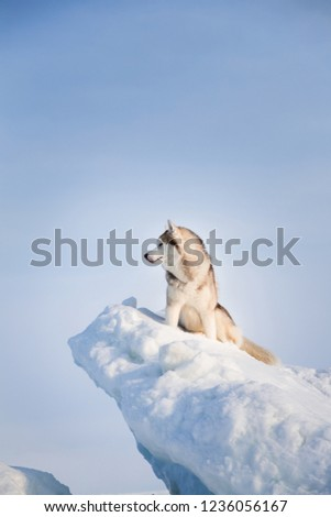 Profile Portrait of gorgeous Siberian husky dog sitting on ice floe on the Okhotsk sea and forest background. Image of Free and prideful husky dog is sitting on the snow and looking afar in winter.