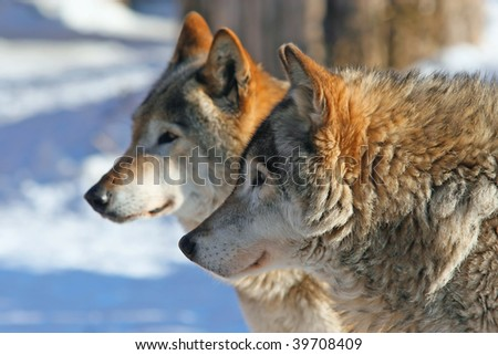 Profile portrait of Grey wolves (canis lupus)