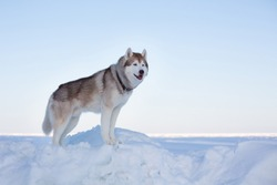 Profile Portrait of perfect dog breed siberian husky standing on the ice floe in winter. Free and prideful Husky topdog is enjoying frozen sea view on a snow background