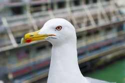 Profile portrait of the tender seagull, with elegant bearing, and closely we see that they have a large orange beak.