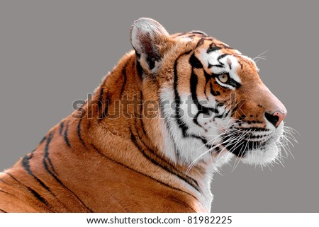 Profile portrait of tiger (Panthera tigris) isolated on grey background