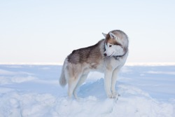 Profile Portrait of young and beautiful dog breed siberian husky standing on the ice floe in winter. Free and prideful Husky topdog is looking back on the snow at the frozen sea