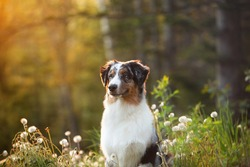 Profile Portrait of young and cute Blue merle Australian shepherd dog in the forest at sunset in summer. Beautiful aussie puppy sitting outdoors