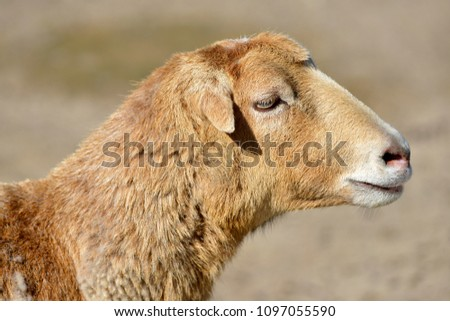 Profile portrait sheep of Cameroon Ovis aries  #1097055590
