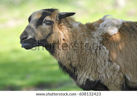 Profile portrait sheep of Cameroon Ovis aries  #608132423