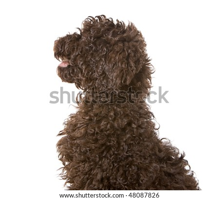Profile Shot of a Chocolate Labradoodle Puppy
