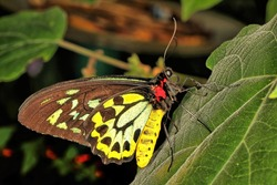 Profile shot of a Queen Alexandra's birdwing butterfly perched on a green leaf. It the largest butterfly in the world and is endangered. Ornithoptera alexandrae.