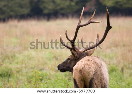 Profile shot of Male Elk with Antlers