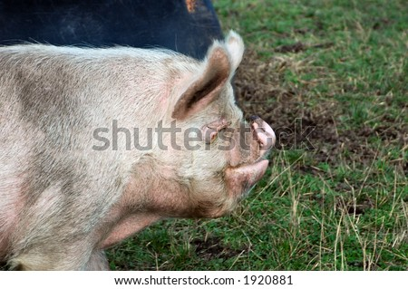 Profile shot of the breed of pig called Middle White. Becoming a rare breed. Female pig pictured.