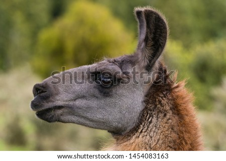Profile view of a domesticated adult female Llama standing  in a green field in rural New Zealand. This view clearly shows the difference in head shape between a Llama and Alpaca.