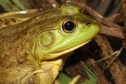 Profile view of a female American Bullfrog's head. You can tell it is a female because the ear (tympanum) is about the size of her eye.  Male bullfrogs would have a much larger ear.
