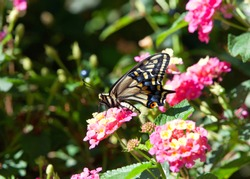 Profile view of one Old World, or Yellow Swallowtail Butterfly on pink and yellow Lantana flowers in a backyard garden. Beauty in Nature.