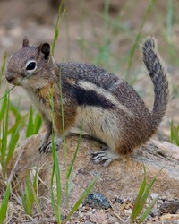 Profile View of Striped Chipmunk or Ground Squirrel with Tail Raised and Alert on Small Mound of Dirt