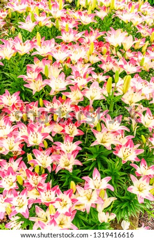 Profusion of hybrid lilies, some yet to bloom, in spring flower garden