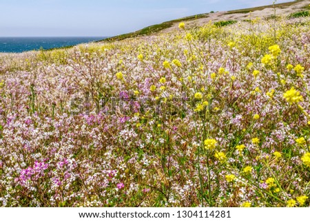 Profusion of several varieties of wildflowers in a coastal meadow overlooking the Pacific Ocean, Sonoma Coast State Park, California, USA, in spring #1304114281