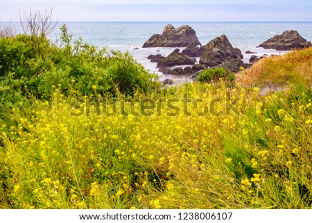 Profusion of yellow wildflowers on bluff near sea stacks in Sonoma Coast State Park, northern California, USA, in springtime