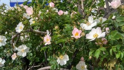 Prolific dog rose shrub, having fragrant opening pink and opened white and pinkish white flowers with green leaves of a shrub growing through a black-painted, wrought iron fence. Old rosa canina shrub