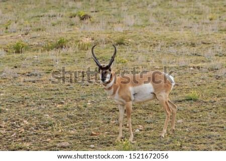 Pronghonr (Antilocapra americana) buck on the high plains of Colorado #1521672056