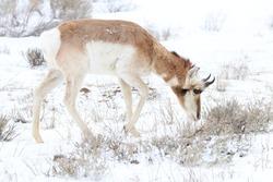 Pronghorn (American antelope) browsing through sagebrush.