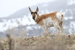 Pronghorn (American antelope) in front of snowy mountain.