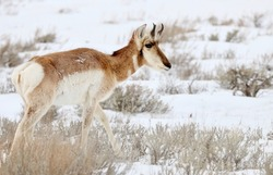 Pronghorn (American antelope) in snowy sagebrush.