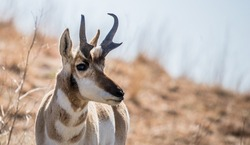 pronghorn antelope grazing in grasslands