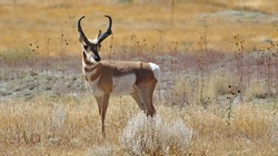 pronghorn antelope in colorado in a field