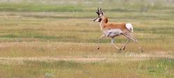 Pronghorn (antelope) in Wyoming