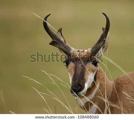 Pronghorn antelope portrait, with prairie grasses blowing in the wind