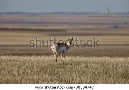 Pronghorn Antelope Prairie Saskatchewan Canada