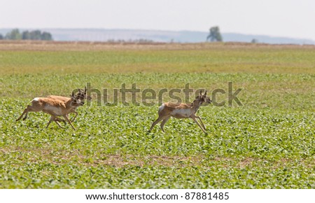 Pronghorn Antelope Running in Prairie Field