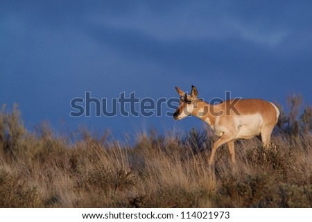 "Pronghorn ""Antelope"", the world's 2nd fastest animal, in prairie & sagebrush habitat against a dramatic, dark, stormy sky; eastern Oregon, USA"