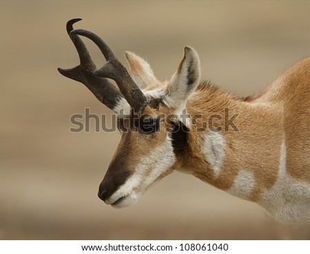 Pronghorn Buck, highly detailed close-up portrait