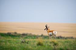 Pronghorn Grasslands National Park Saskatchewan Canada