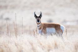 Pronghorn in Antelope Island State Park, UT