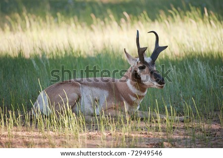 Pronghorn (lat. Antilocapra americana) in the woods of Bryce Canyon National Park, Utah, USA - stock photo