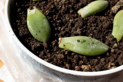 Propagation of succulents in a pot - Budding succulents