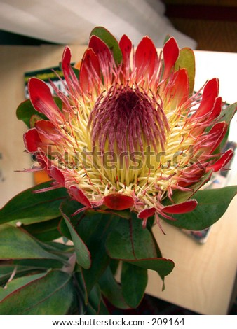 Protea, Cape Town, South Africa