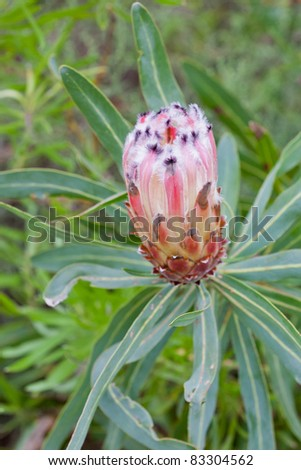 Protea flower at Table Mountain National Park in South Africa.