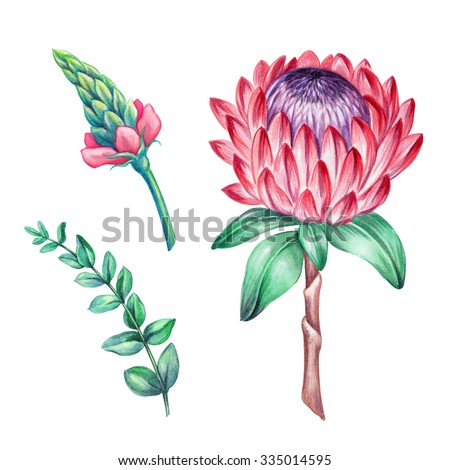 protea flower, green leaves, floral watercolor elements isolated on white background