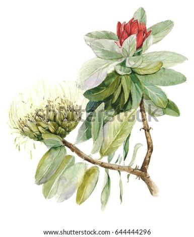 Protea flower (sugarbushes). Hand-drawn watercolor botanical illustration