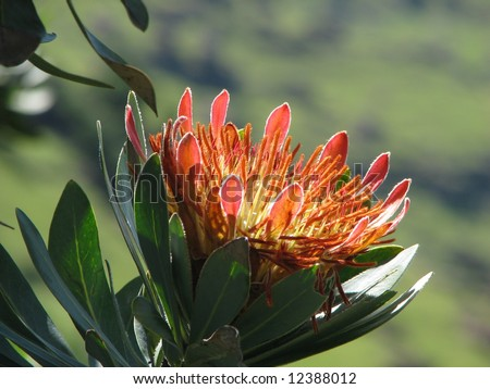 protea - the symbol of South Africa