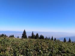 Protected pine trees on Vitosha Mountain