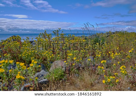 Protecting Sooke harbour, Whiffin Spit is covered with bright yellow flowers that line the popular footpath in August.  In the distance, Mountains of Washington State's Olympic Peninsula are visible Stock fotó ©