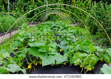 Protection against weeds when growing cucumbers with spunbond agriculture nonwoven cover. #671582881