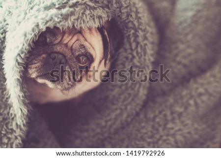 Protection and hidden dog concept with nice funny pug under blue cover at home canine lazy lifestyle and animal portrait #1419792926