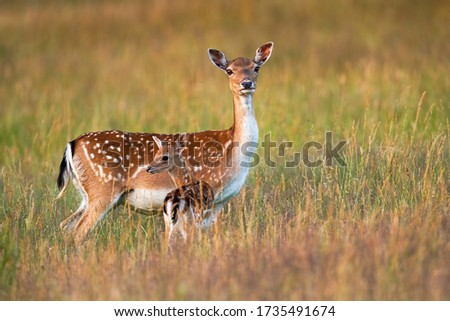 Protective fallow deer, dama dama, doe watching around and guarding little cute fawn in nature. Concept of animal family. Female mammal on meadow with grass close to young spotted offsrping. Stockfoto ©