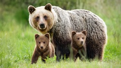 Protective female brown bear, ursus arctos, standing close to her two cubs. An adorable young mammals with fluffy coat united with mother in the middle of grass meadow. Concept of animal family.